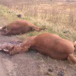 Поблизу Дрогобича водій мікроавтобуса збив на смерть двох коней