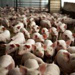Карантин оголосили на Львівщині через масштабний спалах африканської чуми свиней